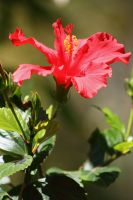 Red Hibiscus by OrioNebula