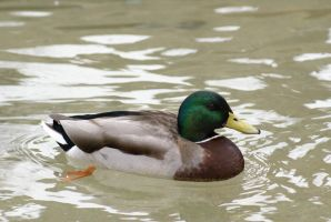 Duck 005 by MonsterBrand-stock