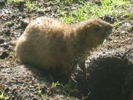 Prarie Dog by GTURTLE123