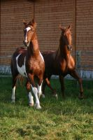American Saddlebred Stock 20 by LuDa-Stock