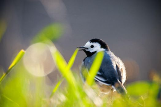 Pied Wagtail by sampok