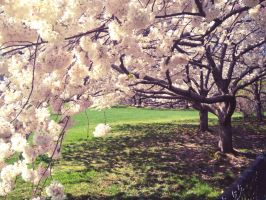 Central Park Cherry Blossoms by emshore