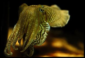 Cuttlefish by rgphoto777