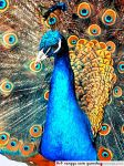 i like Peacock by art-RUG