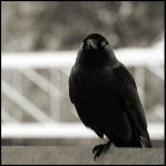 The Crow by Shull