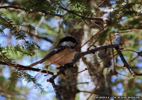 Chickadee resting by imonline