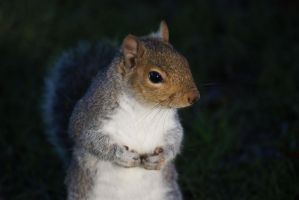 Squirrel by ShAzZa-UK