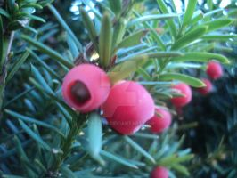 Berries on a shrub by calictii