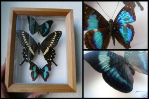 Framed Butterflies #1 by CabinetCuriosities