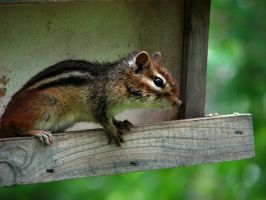 .chipmunk. by witchlady750