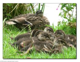 Raft of Ducklings by infiltrator