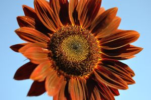Sunflower by TWOphotography