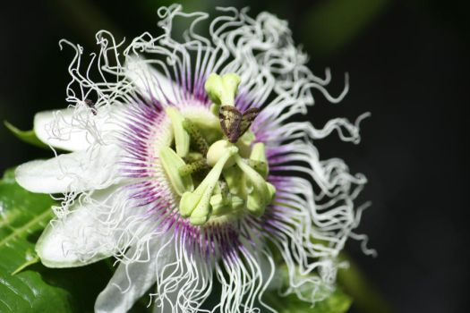Passionflower by Wander-Art