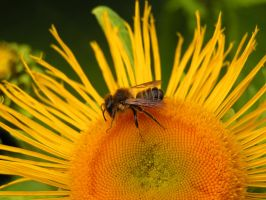 Bee on a yellow flower by MyFlower06