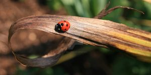Ladybird by small-onion