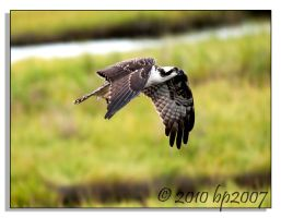 Osprey - 4 by bp2007