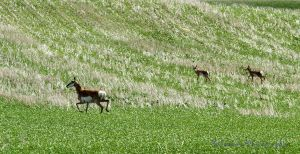 Mamma Pronghorn and her Twins by Kaptive8