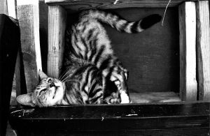 Black and White Silver Tabby by AmorEstVitae
