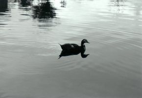 Lonely Duck by SmellsLikeDookie