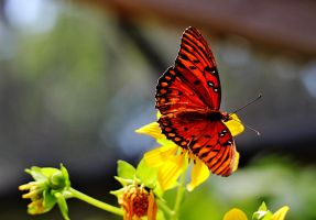 gulf fritillary butterfly by winterface