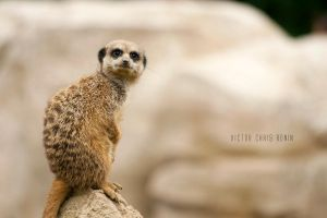 Meerkat No. 2 by Vic-R