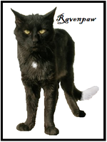 Ravenpaw by Karate-Foxes