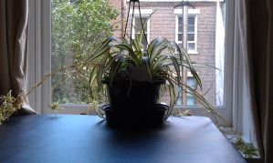 Spider plant by foxhead128