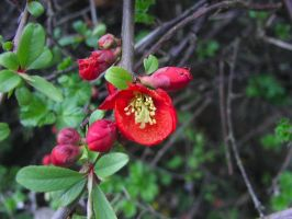 Red Quince flowers by ArcadianSpaceship