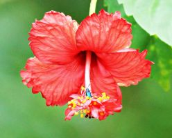Hibiscus Flower Series 20 by a6-k