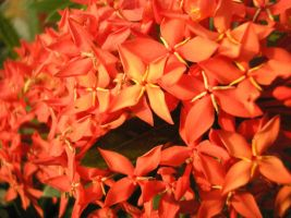 Costa Rican Flowers by feline256