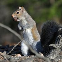 Squirrel with a nut by masscreation