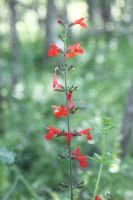 Tall Red Flowers by Ironmountain01