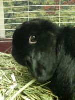 a black holland lop by brandi3981