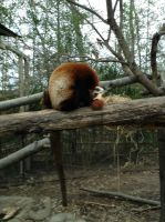 red panda sleeping by starslilcreations