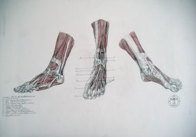 Muscles of feet by reinisgailitis