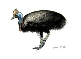 Southern cassowary by Xiphactinus