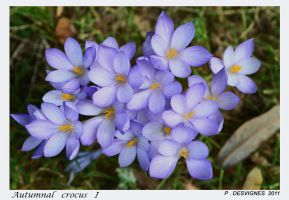 automnal crocus by bracketting94