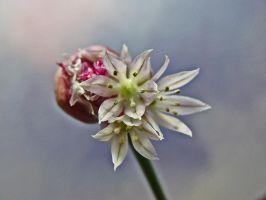 Bloomin' Chive by moreMDM