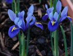 Purple Irises by davepuls