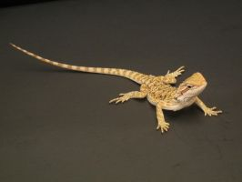 Bearded Dragon 3 by FearBeforeValor