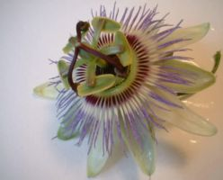 Passion Flower by Fiendish-Losna