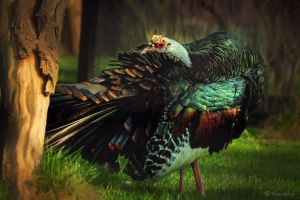 motley Ocellated Turkey by Drezdany