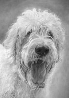 Commission - Labradoodle by Captured-In-Pencil