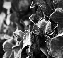 Frosted Ivy by superflyninja