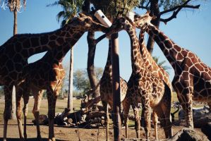 Zoo Trip the long necks by AWildRose