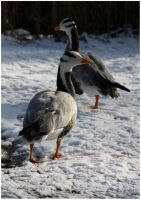 Bar-headed Geese by In-the-picture