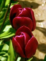 Red Tulips I by Photos-By-Michelle