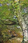 Belvoir Tree Autumn Curves by Gerard1972