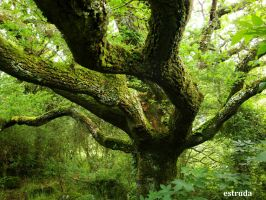 The Mighty Old Oak by Estruda