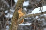 Fox Squirrel 63 by Gerryanimator